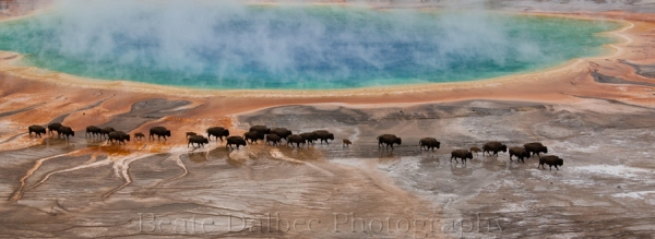 bisons grand prismatic (1 of 1)-2