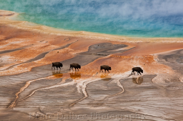bisons grand prismatic (1 of 1)