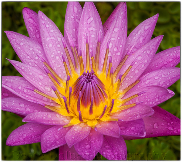 The meaning of the lotus flower beate dalbecs blog have mightylinksfo