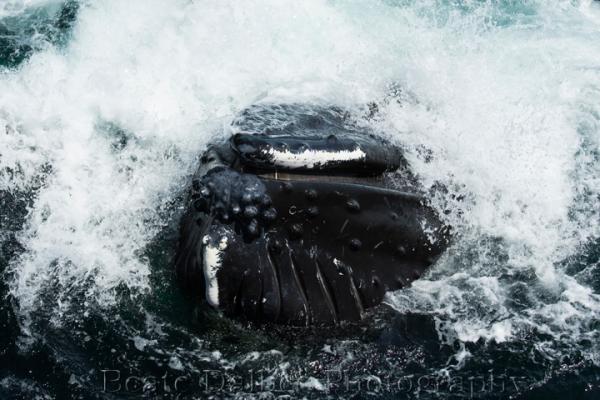 humpback (1 of 1)-2 web
