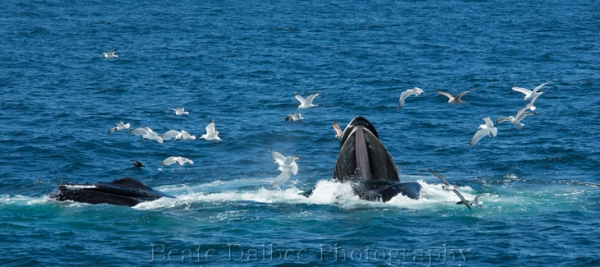humpback (1 of 1)-5 web