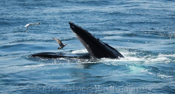 humpback (1 of 1)-6 web