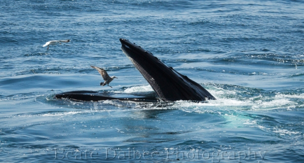 humpback (1 of 1)-6 web