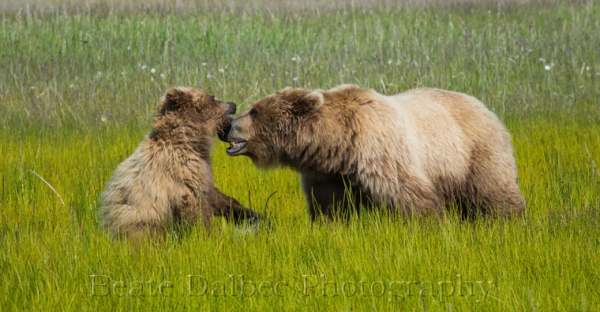 bear cub and sow playing (1 of 1)-3 web