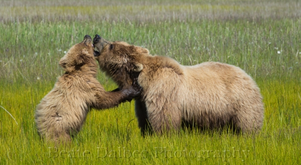 bear cub and sow playing (1 of 1)-4 web