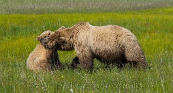 bear cub and sow playing (1 of 1)-8 web